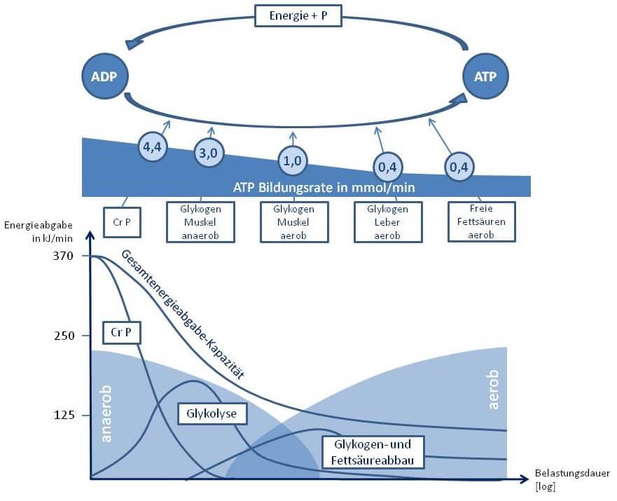 Mechanismen Energiebereitstellung Ausdauer